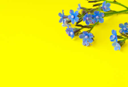 Blue wildflowers on a yellow background. Top view, copy space.