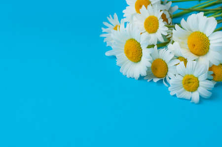 White camomile flowers on a blue background. Top view, copy space.