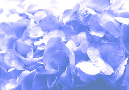Beautiful blooming delicate blue texture of hydrangea flowers, close-up view. Blue pastel floral background