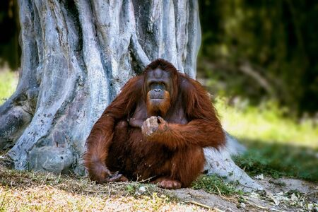 Huge red-haired orangutan sitting under a big tree