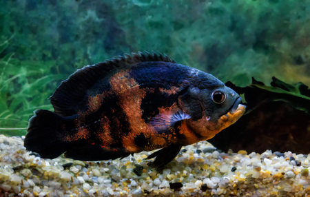 astronotus: astronotus large black with red spots floats in the aquarium
