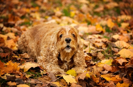 dog Cocker Spaniel American lying in the grass in autumn