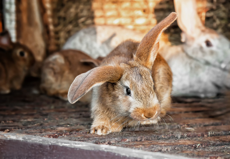 ploy: eared beautiful redhead in a pretty little rabbit lives in a cage with rabbits