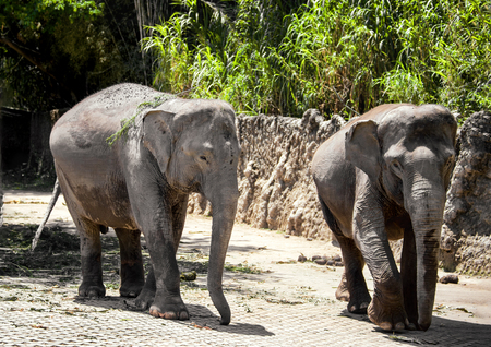 two large gray elephant walks along the old stone fences in tropical forest in Park of the Safari 스톡 콘텐츠