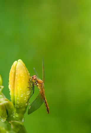 high section: Dragonfly sitting on the flower buds of daylilies on blurred green background with place for text vertical location of the frame