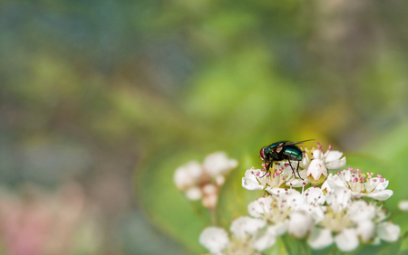 constant: dung fly green sits on a small white inflorescences.