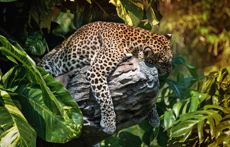 A sleeping leopard in a tree in the green tropical forest on a Sunny day. The horizontal frame.