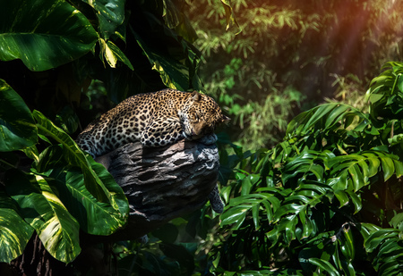 spotted fur: A sleeping leopard in a tree in the green tropical forest on a Sunny day.