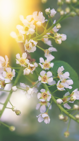 The little white flowers of cherry on a green background at sunset. Texture. Stock Photo