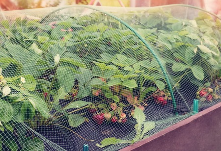 Protection of the harvest of ripe red strawberries mesh on the arcs in the garden in the garden. The horizontal frame.