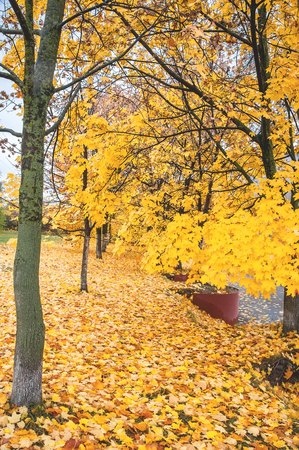 field maple: A beautiful Avenue of maple trees in autumn with yellow leaves. The vertical frame.
