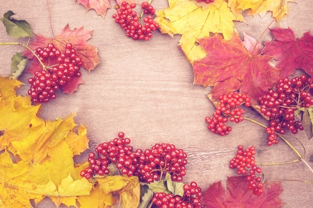 Beautiful background of autumn maple tree with yellow and red leaves and red viburnum berries. Not in focus. Stock Photo