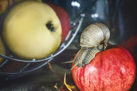 The large Achatina snail crawling on a red Apple on a background of apples. The horizontal frame. Stock Photo