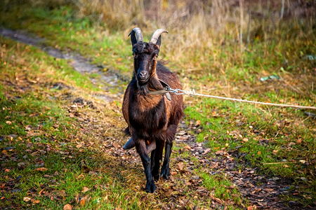 Beautiful young black horned goat running across the lawn on a beautiful blurred green background. The horizontal frame.