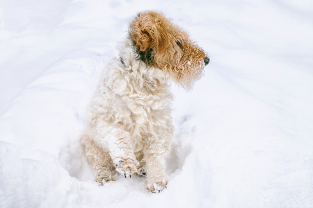 Sad dog sneaks in a snow drift in search of the road. Anomalous snowfall in the winter. Stock Photo