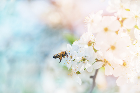 Flying honey bee in the air to a blossoming cherry tree in search of honey nectar. A symbol of spring. The collection of honey by bees in the apiary.