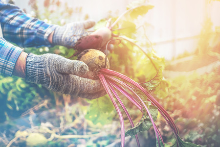 Two male hands holding torn from the garden beets. The concept of urban garden, organic vegetables. Close up. Copy cpase.
