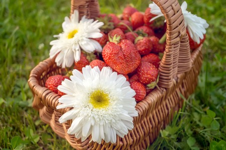 Wicker basket with a crop of ripe strawberries and chamomile flowers on green grass. Sunny day. Stockfoto
