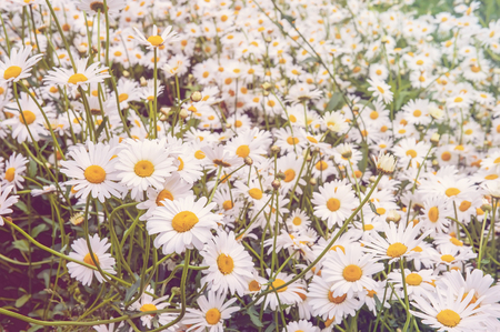 Natural background of many small white Daisy flowers field. Sunny day.