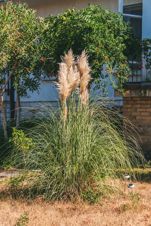 Beautiful Bush of pampas grass on the lawn in the yard in the summer on a Sunny day. Фото со стока