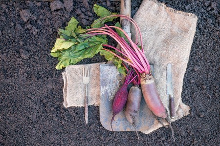 Organic root vegetables beet, lying on the spade and coarse cloth served the village. Autumn harvest. Copy the place. The horizontal frame.