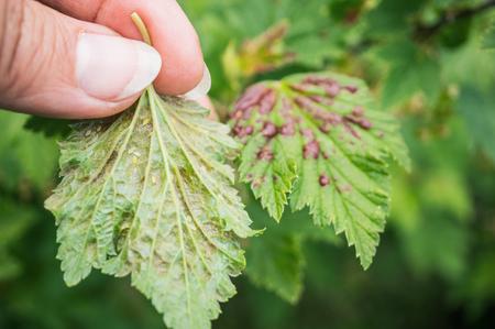 Gallic aphids on currant leaves. Pest control garden and vegetable garden. Foto de archivo