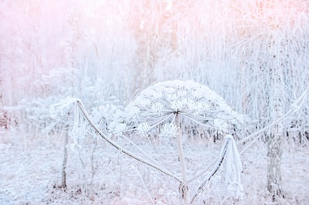 On a frosty winter day, the Heracleum weed is covered in beautiful frost. Stok Fotoğraf