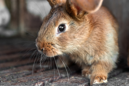Eared red rabbits live in a cage with hay.