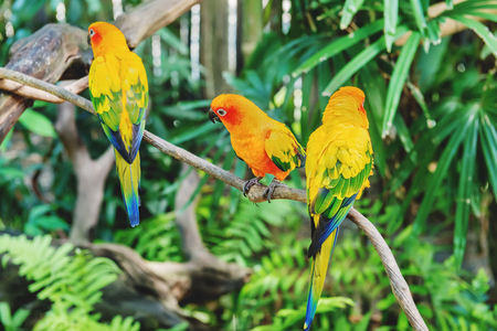 Three beautiful yellow-green wavy parrots are sitting on a branch in a tropical forest.