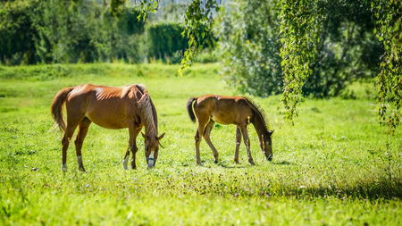 A horse with a newborn foal grazes in a meadow in Sunny weather.