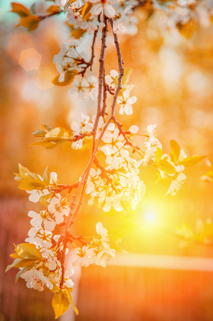 Spring branch with white small flowers at sunset. Background. Copy space.