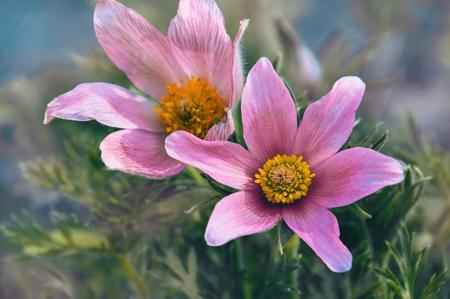Beautiful purple fluffy flower Oriental Pulsatilla patens pasqueflower in early spring.