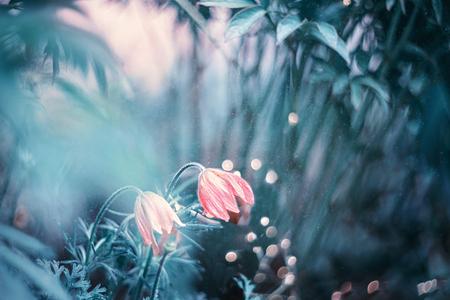 Beautiful purple fluffy flower Oriental Pulsatilla patens pasqueflower in early spring. Art. Fantasy.