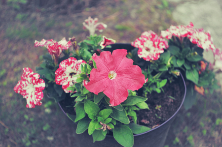 Lovely pink Petunia flowers in a black pot in the garden. The view from the top. 免版税图像