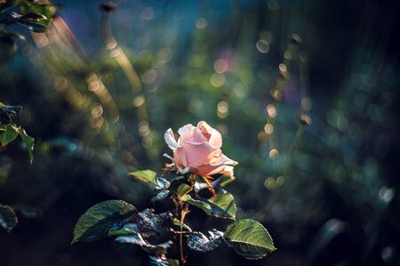 Beautiful red and white rose Bush in the spray of rain and the rays of the setting sun. Art. Retro look Reklamní fotografie