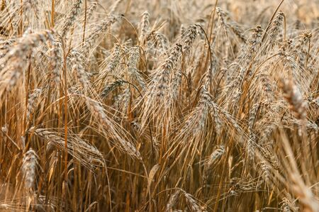 Wheat field on a Sunny day. Golden ears of wheat. Whole grains close-up. The idea of a rich harvest. Label design.