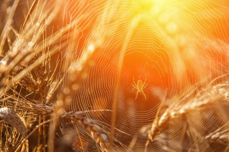 Wheat field with a glint of the sun. Golden ears of wheat or rye. Whole grains close-up. The idea of a rich harvest. Label design.