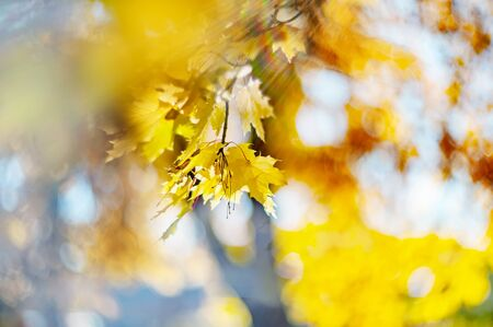 Yellow autumn colors of foliage. Branch with yellow leaves on a blurred background. Copy space. Background. Blur. Noise. Standard-Bild