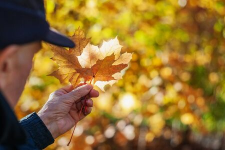 A man's hand holds maple leaves on a beautiful yellow background of autumn foliage. Standard-Bild