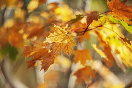 Yellow autumn colors of foliage. Branch with yellow leaves on a blurred background. Copy space. Background. Blur.