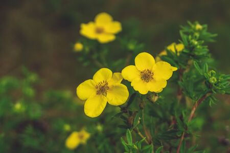 Close-up of yellow flowers. Lovely yellow medicinal flower on green background. Copy space.