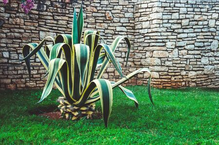 Agave tree grows on the lawn next to the stone textured wall.