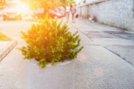 Plant a small cedar tree in a white pot on the blurred  of the street. Stok Fotoğraf