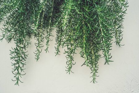 Fresh branches and leaves of rosemary in the vertical urban landscaping on the light wall. Stok Fotoğraf