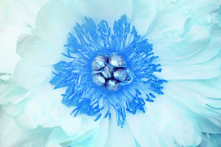 Abstract floral  from the heart of an open blue peony flower.