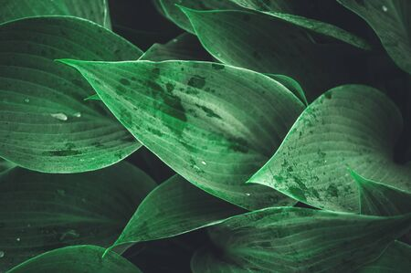 Beautiful vegetable  from the leaves of Hosta after a rain. Stok Fotoğraf