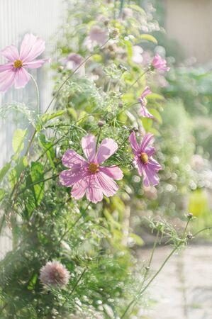 Delicate pink cosmos flowers in the garden. Summer garden decoration. Archivio Fotografico - 129264107