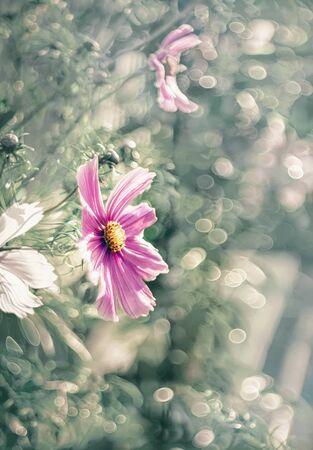Delicate pink cosmos flowers in the garden. Summer garden decoration. Archivio Fotografico - 129264118