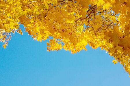 Gelbe Herbstfarben des Laubs. Ein Zweig mit gelben Blättern gegen einen blauen wolkenlosen Himmel. Platz kopieren. Hintergrund.