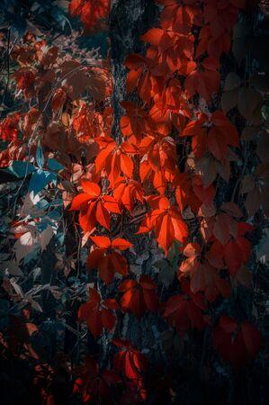 Rote leuchtende Herbstfarben des Laubs. Verzweigen Sie sich mit roten Blättern auf einem unscharfen Hintergrund. Hintergrund. Hintergrund.